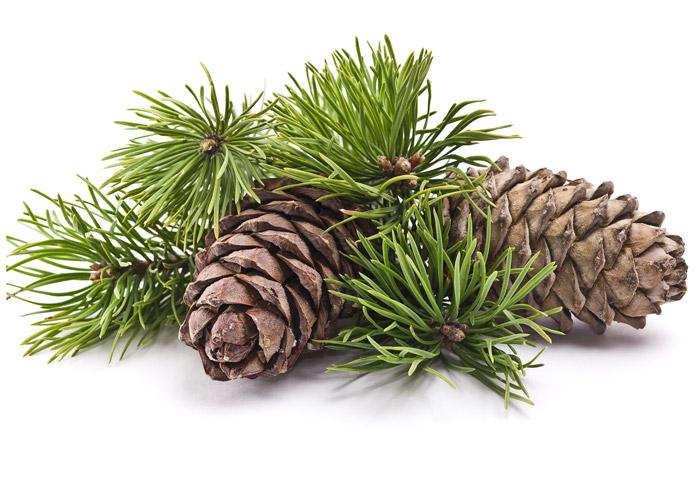 Resultado de imagen de pino silvestre