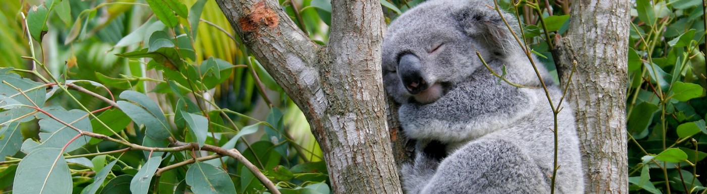 eukalyptus radiata 100 naturreines therisches l. Black Bedroom Furniture Sets. Home Design Ideas